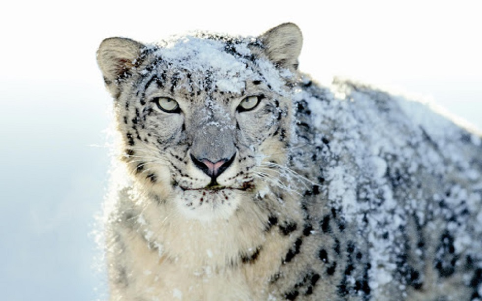 Леопарда обнаружили в Мангистау
