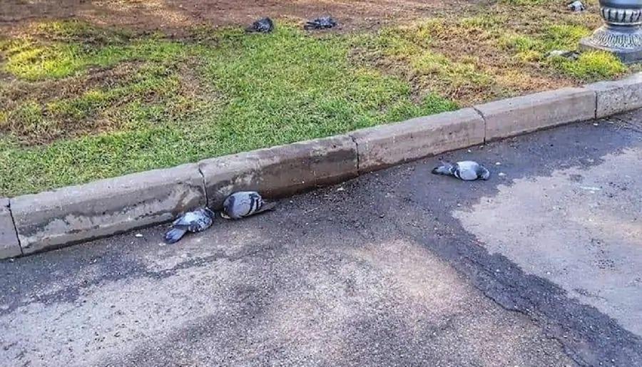 Видео с мертвыми голубями в парке Алматы напугало горожан
