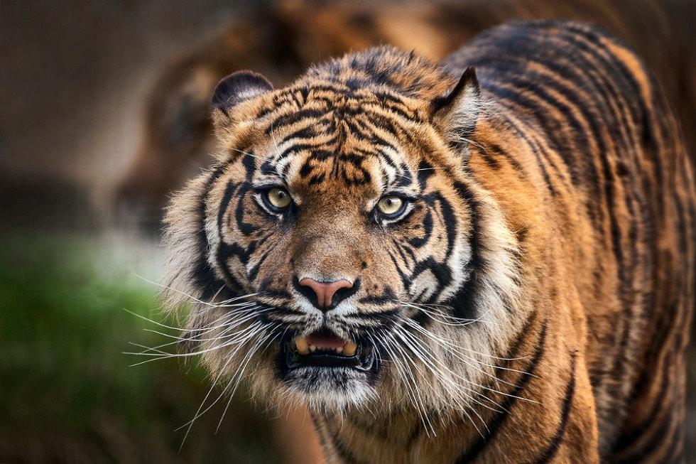 Тигрица заразилась коронавирусом в Нью-Йорке