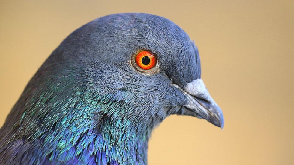 Три года в клетке: голубя-шпиона освободили от ареста в Индии
