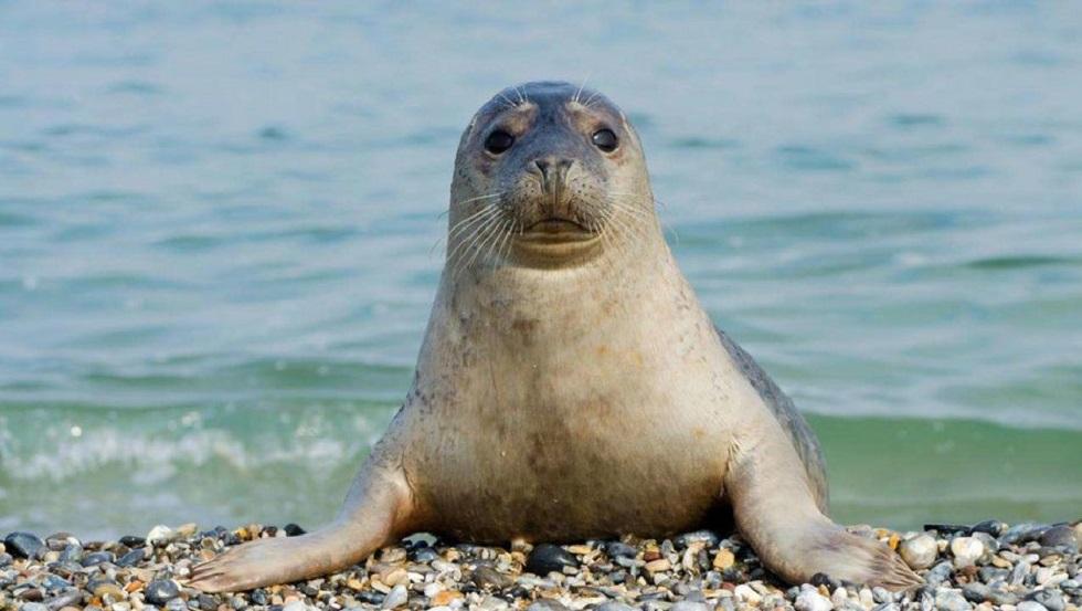 Тюленей из Каспийского моря занесут в Красную книгу Казахстана