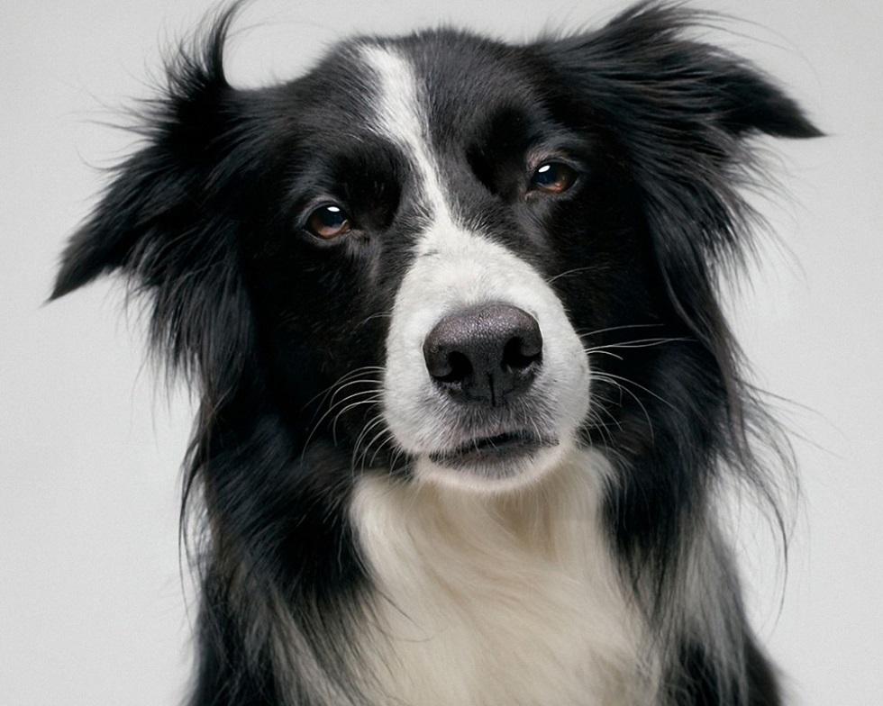 Легко поддаются дрессировке: названы самые обучаемые породы собак