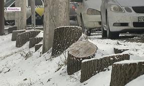 Установлен подозреваемый по делу о незаконной вырубке деревьев на ул. Толе би