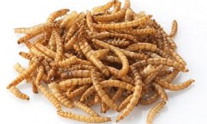 Мучные черви на завтрак: Евросоюз признал, что их можно употреблять в пищу