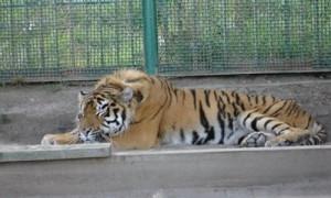 В зоопарке усыпили тигрицу, заразившуюся COVID-19