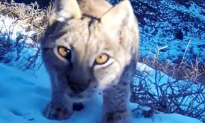 Краснокнижная рысь попала на камеру в Чарыне - видео