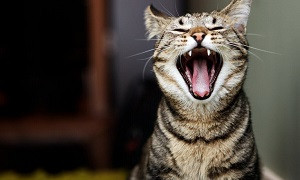 Кошка заговорила по-русски от страха перед ветклиникой