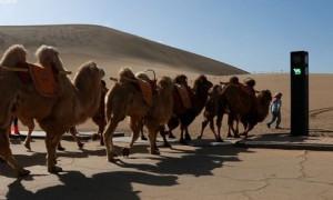 Такого в мире еще не было: в Китае установили светофор для верблюдов