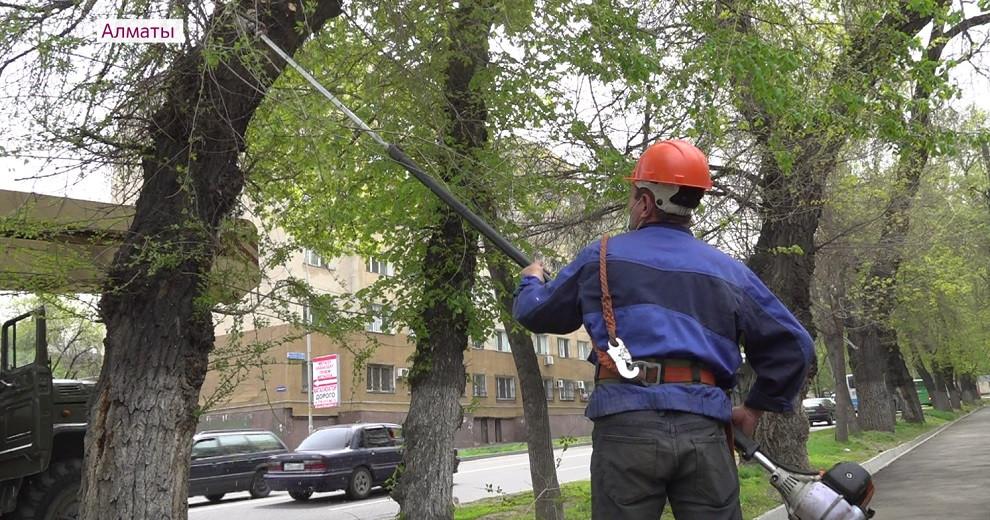 Алматыда ағаштарға санитарлық қырқу жұмыстары жүргізіліп жатыр