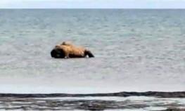 Не морская фауна: мертвых верблюдов выбросило на берег в Мангистауской области
