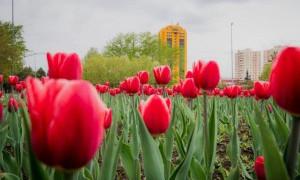 В Нур-Султан вернулись тюльпаны: их не было 10 лет