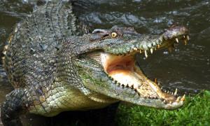 Крокодил-террорист съел 80 человек в Африке