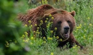 Голодный медведь гонялся за пчеловодом и разорял улья в ВКО