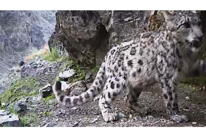 Қар барысы «Алтын-Емел» ұлттық паркінде екінші рет фототұзаққа түсті