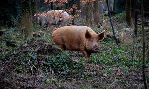 Хуже автомобилей: дикие свиньи оказались вредными для экологии