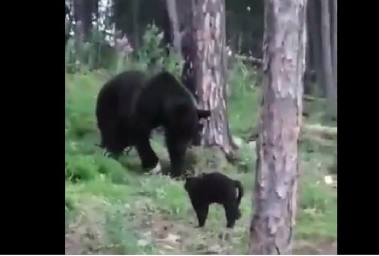 Вася превратился в медведя: домашний кот защитил хозяев от хищника