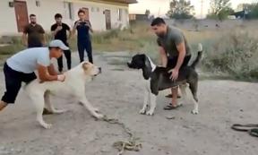 """Четвероногие """"убийцы"""": в Алматинской области пожаловались на организаторов собачьих боев"""